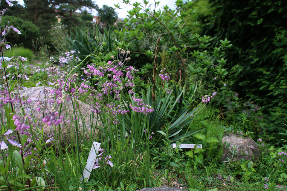 Лук склонённый. Ботанический сад Орхус 23 июня 2021, Дания