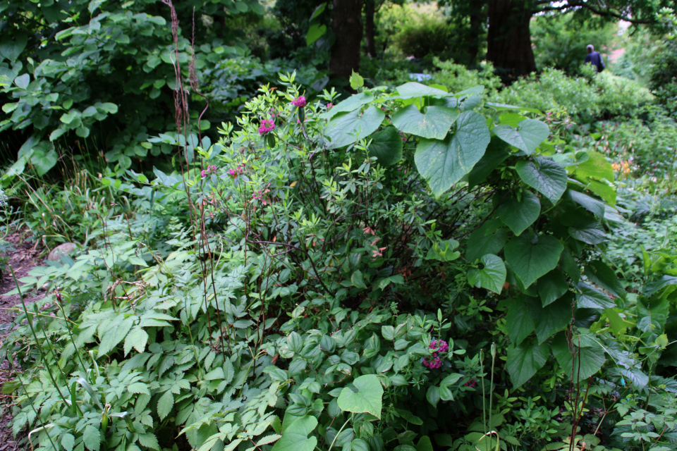 Кальмия узколистная в ботаническом саду г. Орхус, Дания. Фото 23 июня 2021