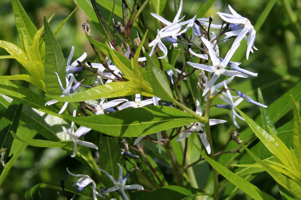 Голубые звезды - цветы амсонии табернемонтана. Ботанический сад Орхус 23 июня 2021, Дания