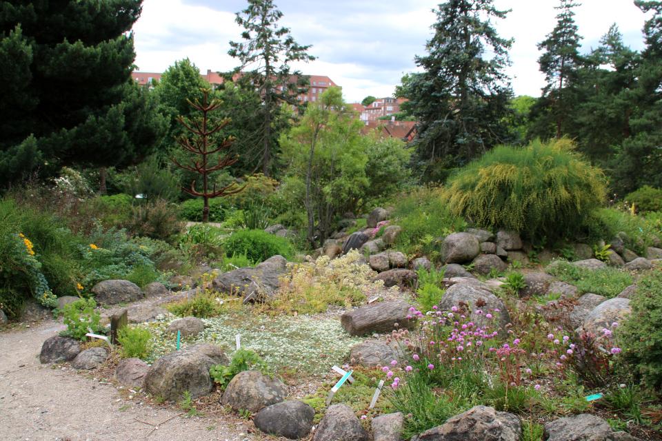 Каменистые горки. Ботанический сад Орхус 23 июня 2021, Дания