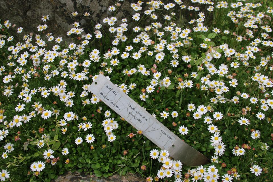 Беллиум мелкий (дат. dværgbellis, лат. Bellium minutum). в ботаническом саду г. Орхус, Дания. Фото 23 июня 2021