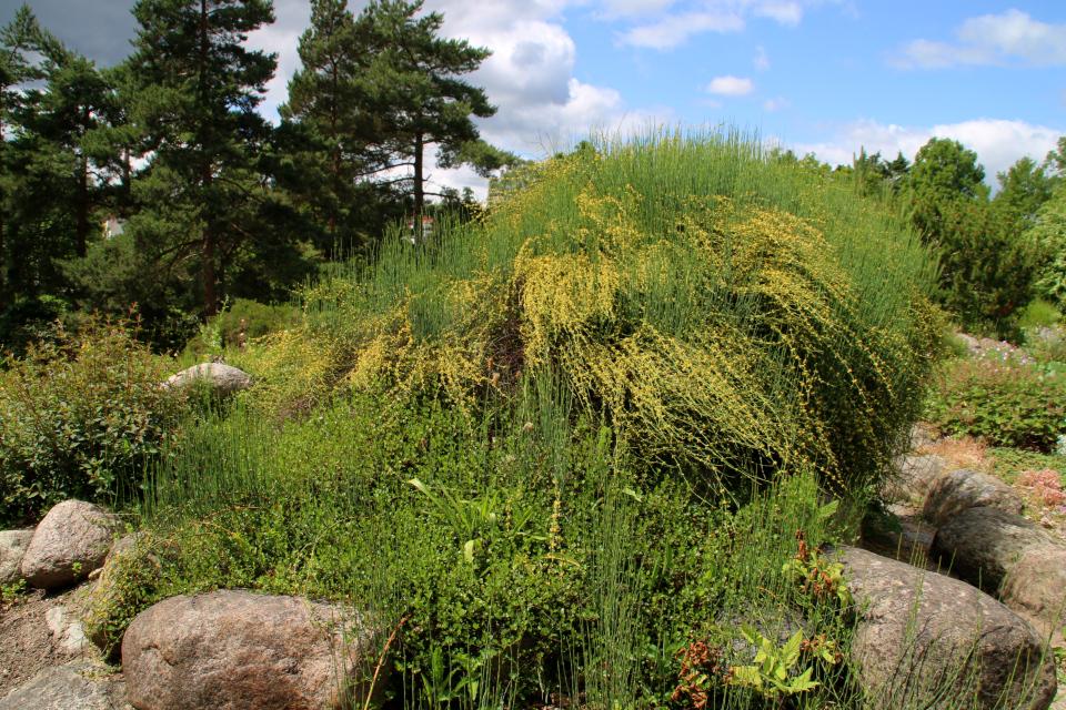 Хвойник американский на каменистых горках ботанического сада г. Орхус, Дания. Фото 23 июня 2021