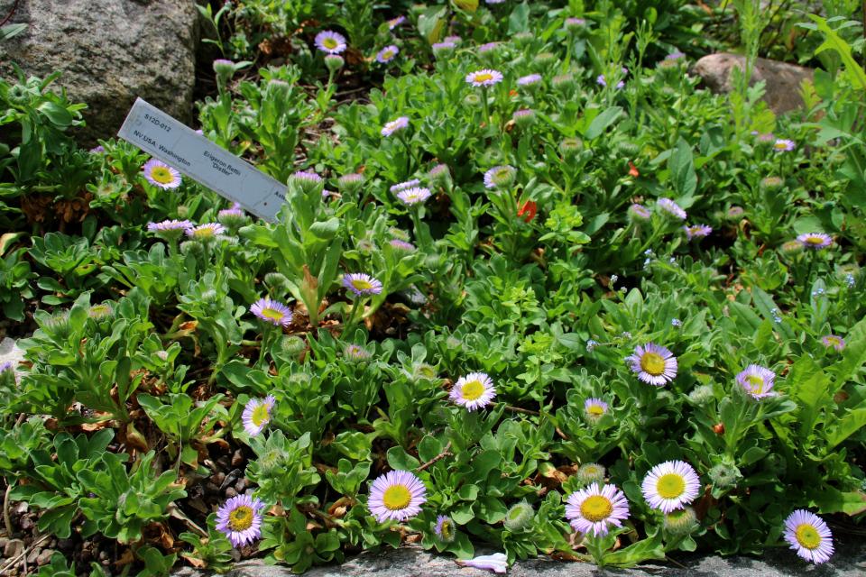 Эригерон флетти (лат. Erigeron flettii). Ботанический сад Орхус 23 июня 2021, Дания