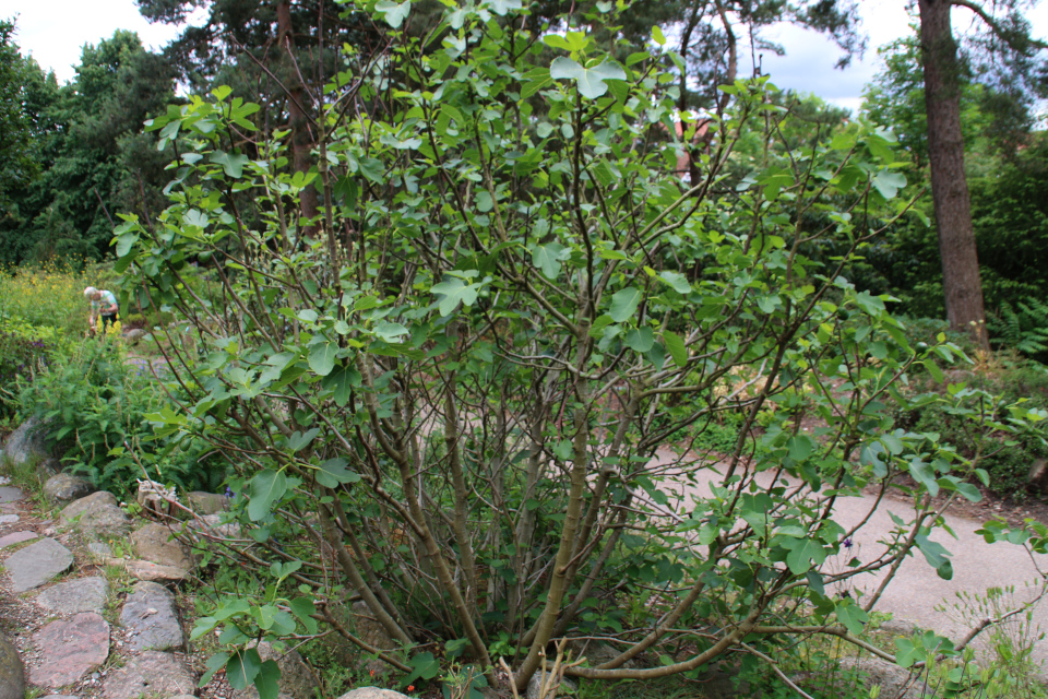 Инжир с плодами в ботаническом саду г. Орхус, Дания. Фото 23 июн. 2021
