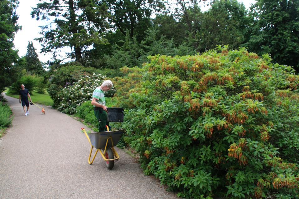 Поуль Эрик возле рододендрона жёлтого в ботаническом саду г. Орхус, Дания. Фото 23 июня 2021