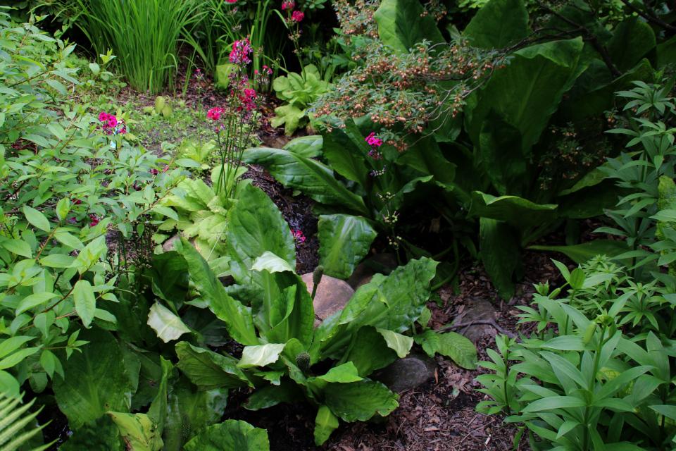 Лизихитон американский и лизихитон камчатский возле цвеущего куста энкиантуса. Ботанический сад Орхус 23 июня 2021, Дания
