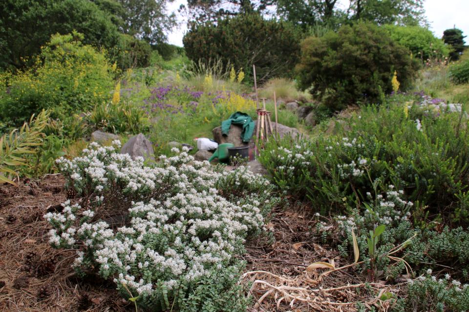 Хебе толстолистная в ботаническом саду г. Орхус, Дания. Фото 23 июня 2021