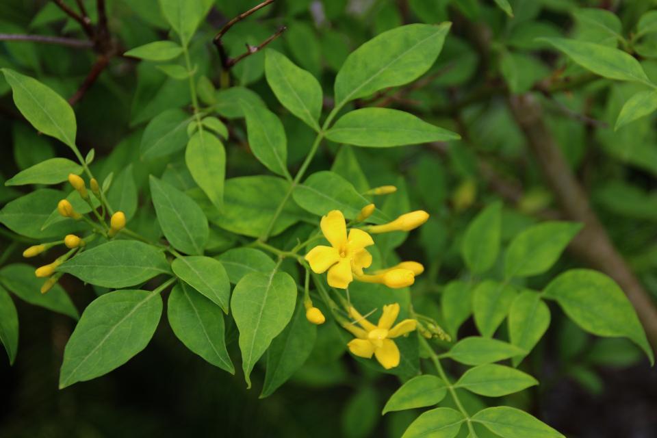 Желтый жасмин. Ботанический сад Орхус 23 июня 2021, Дания