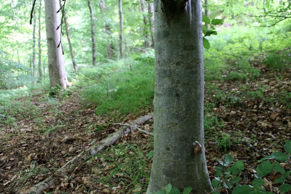Виноградная улитка (дат. Vinbjergsnegl, лат. Helix pomatia). Мариагер, Айструп лес, Дания. Фото 29 июн. 2021