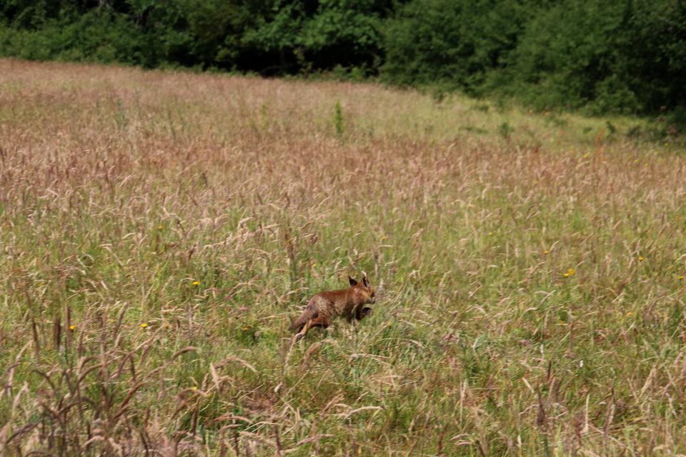 Лисица (дат. Rød ræv, дат. Vulpes vulpes). Мариагер, Айструп лес, Дания. Фото 29 июн. 2021