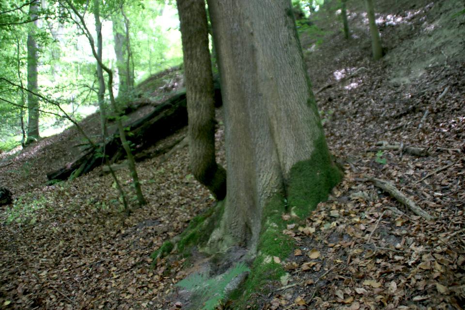 Плющ (дат.Vedbend, лат. Hedera helix). Мариагер, Айструп лес, Дания. Фото 29 июн. 2021