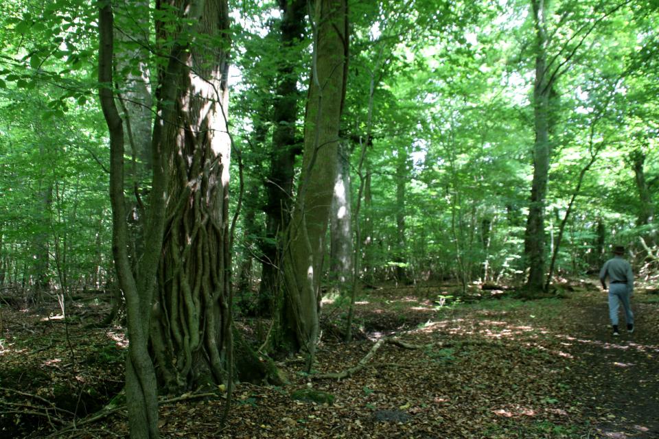 Плющ (дат. Vedbend, лат. Hedera helix). Мариагер, Айструп лес, Дания. Фото 29 июн. 2021