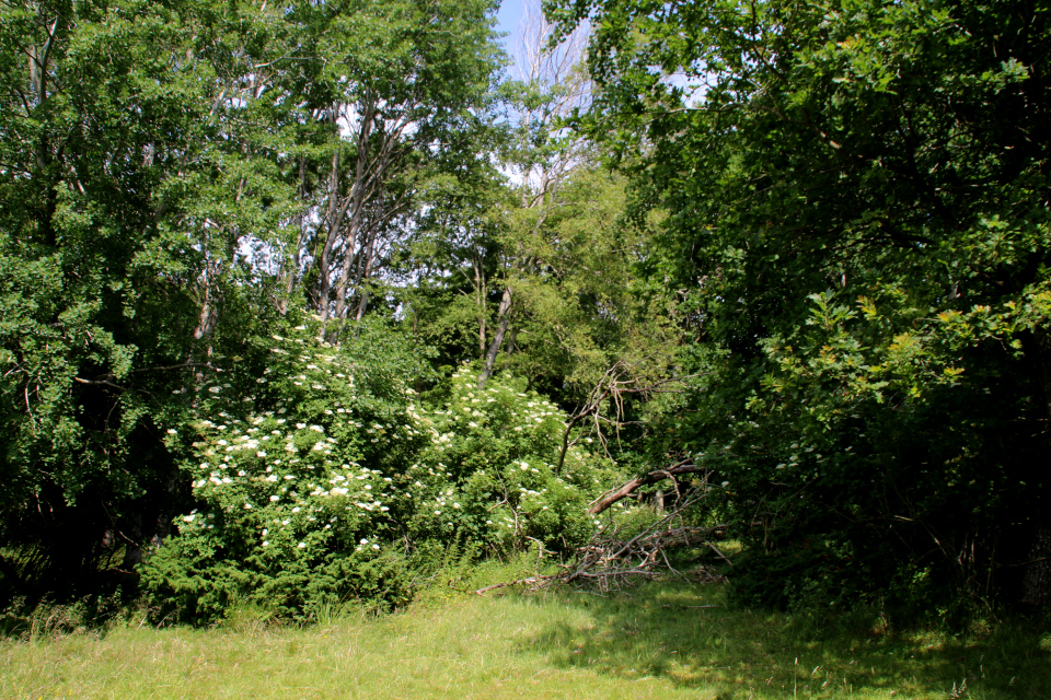 Бузина черная (дат. Almindelig hyld, лат. Sambucus nigra). Мариагер, Айструп лес, Дания. Фото 29 июн. 2021