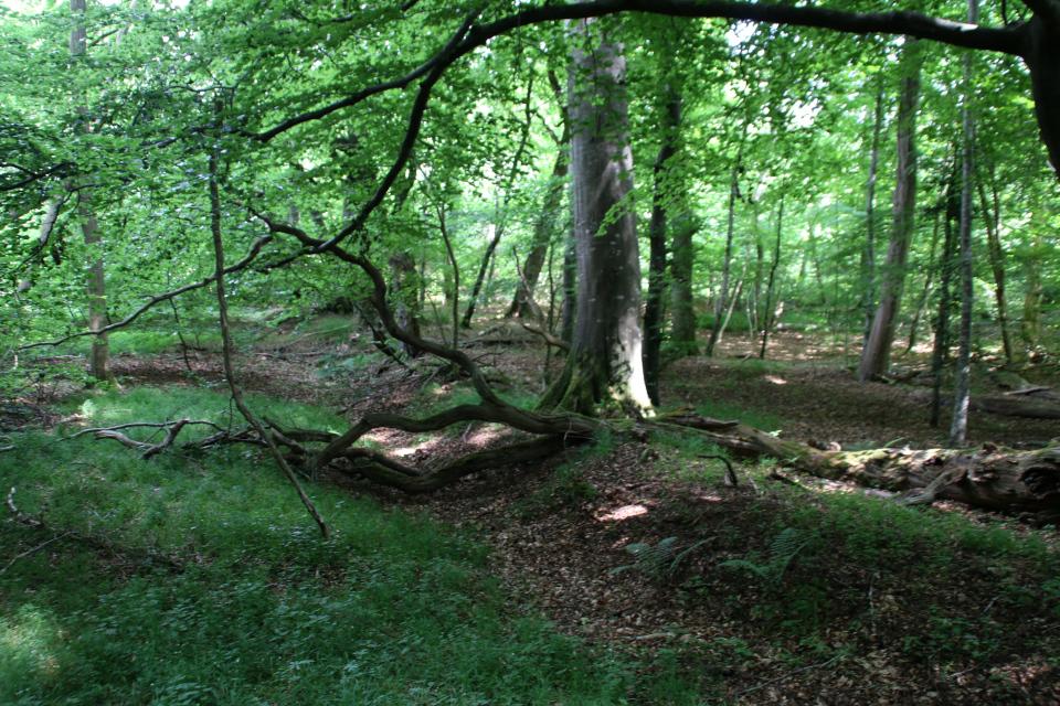 Лесная ограда. Мариагер, Айструп лес, Дания. Фото 29 июн. 2021