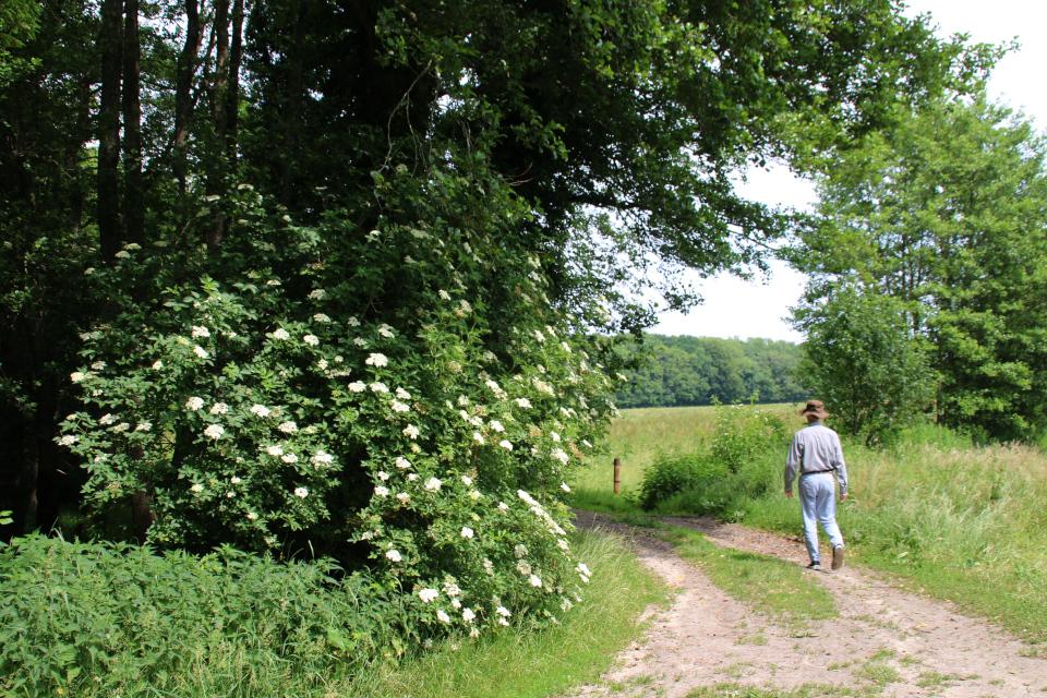 Бузина черная (дат. Almindelig hyld, лат. Sambucus nigra). Айструп, лес (Ajstrup), Дания. Фото 29 июн. 2021