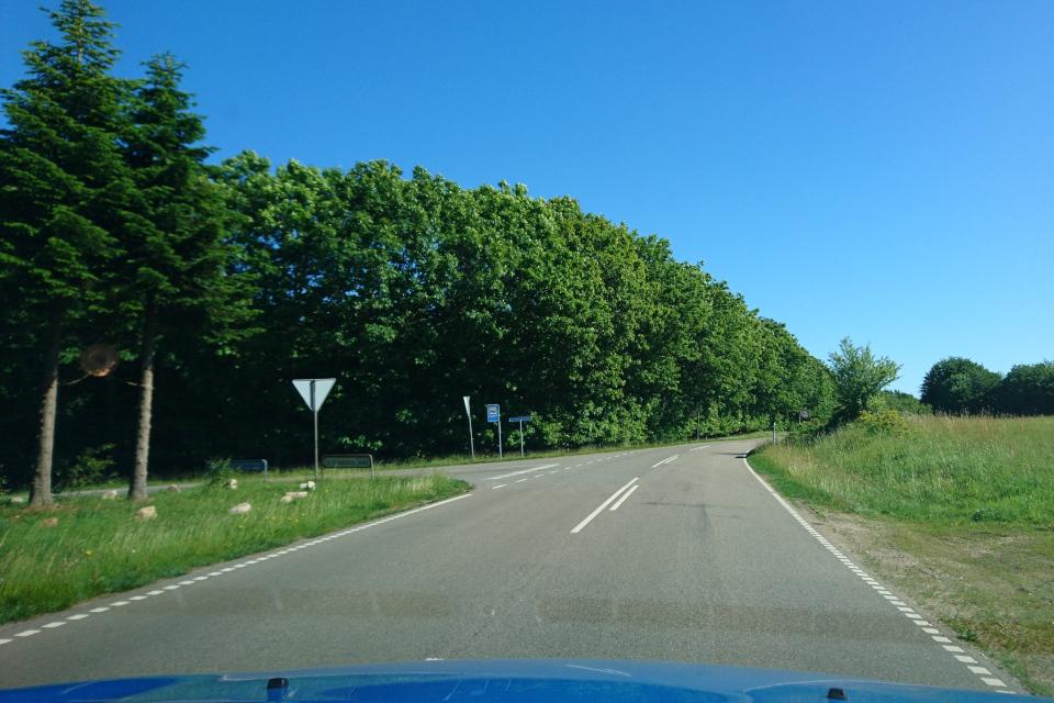 Пихты Нордмана. Дорога к Химмельбьерг, Дания. Фото 16 июн. 2021