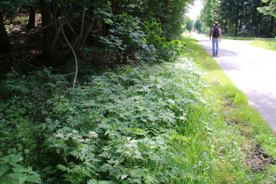 Миррис душистая (миррис душистый), или испанский кервель (Myrrhis odorata). Дорога к Химмельбьерг, Дания. Фото 16 июн. 2021