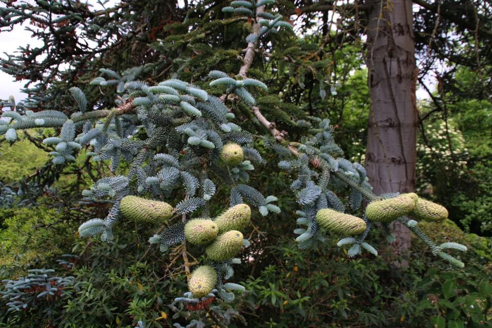 Пихта благородная с шишками в ботаническом саду г. Орхус, Дания. Фото 23 июня 2021