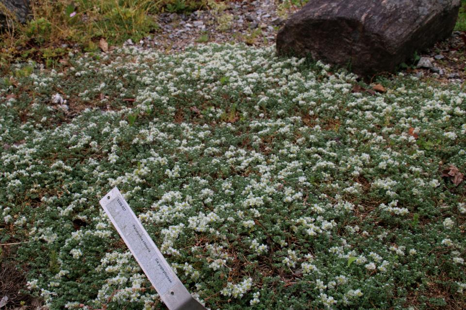 Приноготовник головчатый. Ботанический сад Орхус 23 июня 2021, Дания