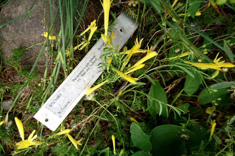 Пенстемон сосноволистный. Ботанический сад Орхус 23 июня 2021, Дания