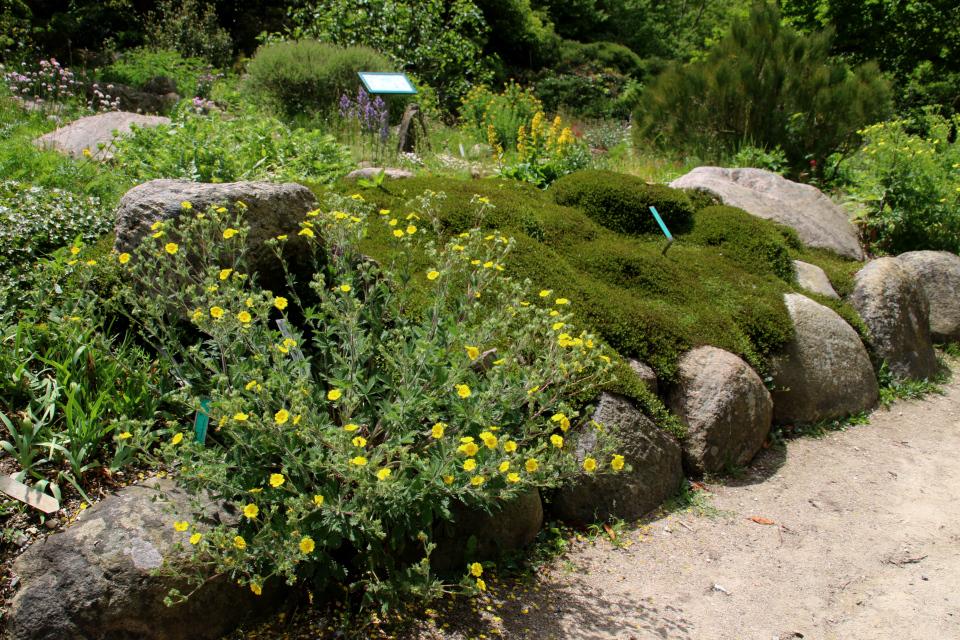 Лапчатка (лат. potentilla detommasii) в ботаническом саду г. Орхус, Дания. Фото 23 июня 2021