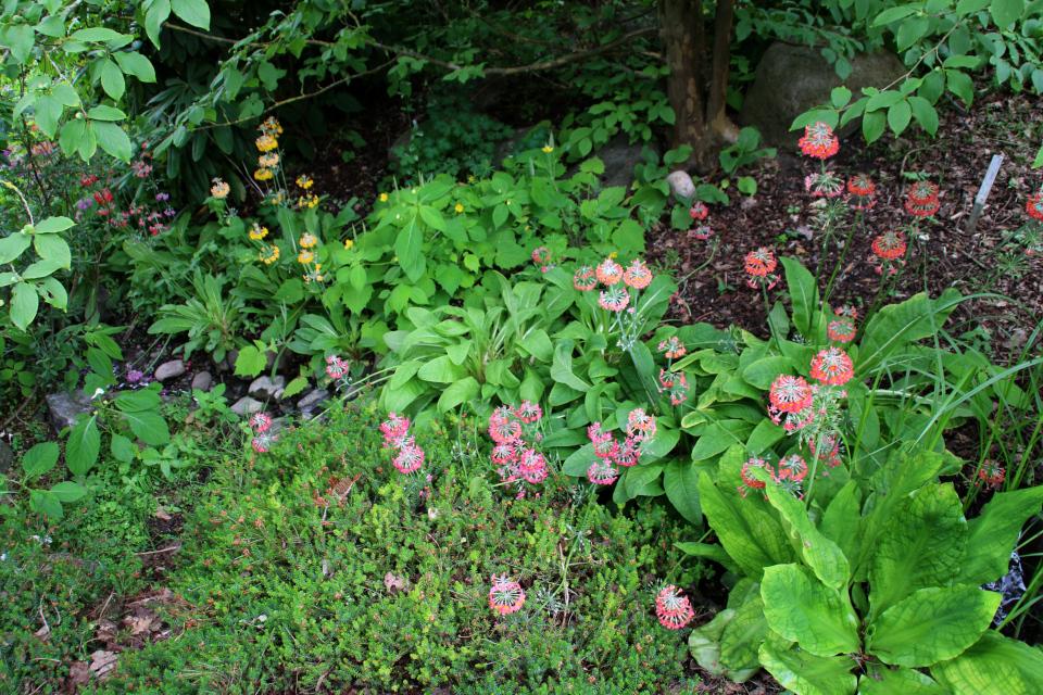 Примула японская в ботаническом саду г. орхус, Дания. Фото 23 июн. 2021