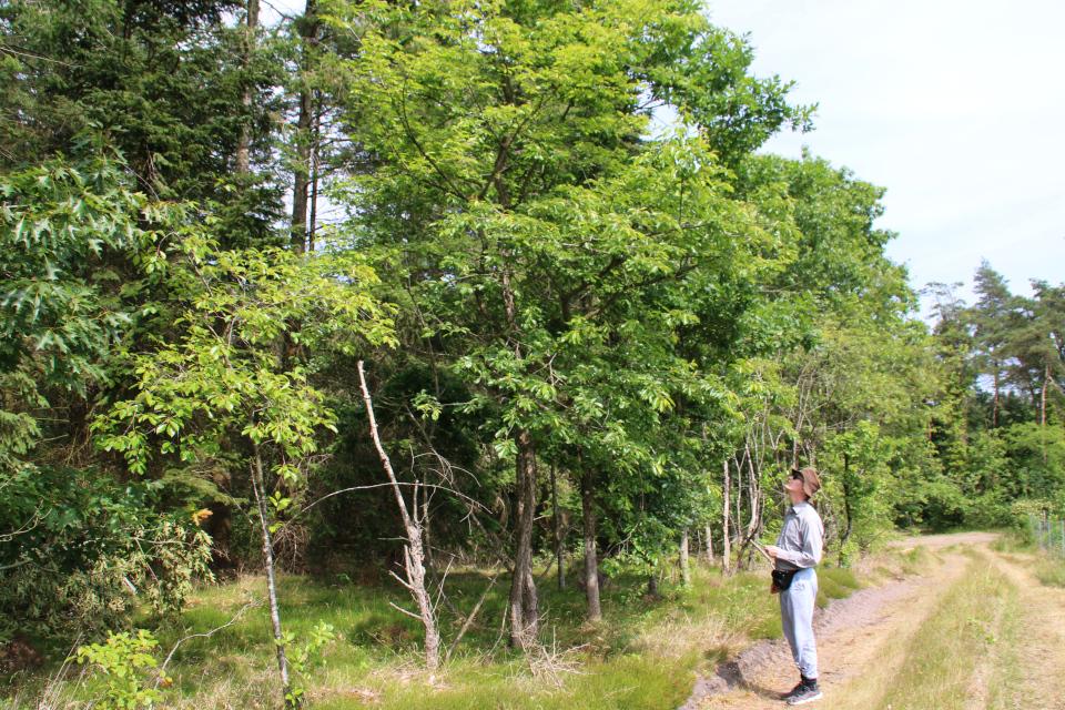 Черёмуха поздняя (дат. Glansbladet hæg, лат. prunus serrotina). Мариагер фьорд, Дания. Фото 29 июн. 2021