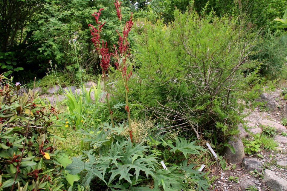 Ревень пальчатый. Ботанический сад Орхус 23 июня 2021, Дания