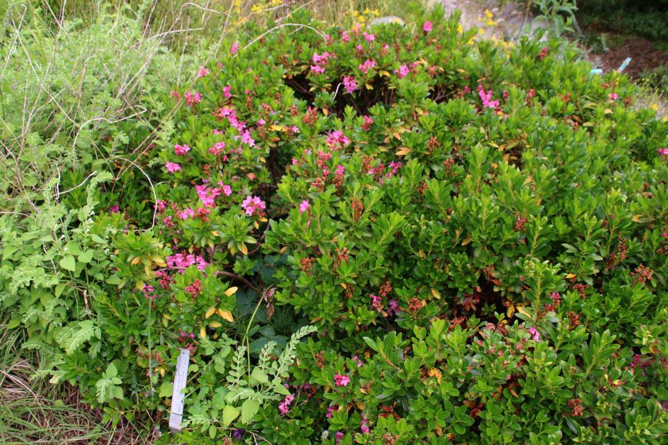 Рододендрон ржавый в ботаническом саду г. Орхус, Дания. Фото 23 июня 2021