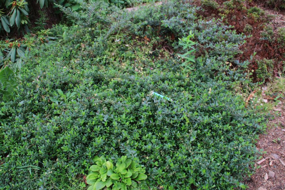 Ива круглолистная в ботаническом саду г. Орхус, Дания. Фото 23 июня 2021