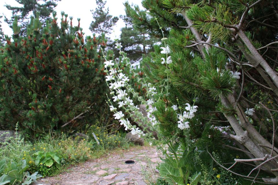 Шалфей серебристый в ботаническом саду г. Орхус, Дания. Фото 23 июня 2021