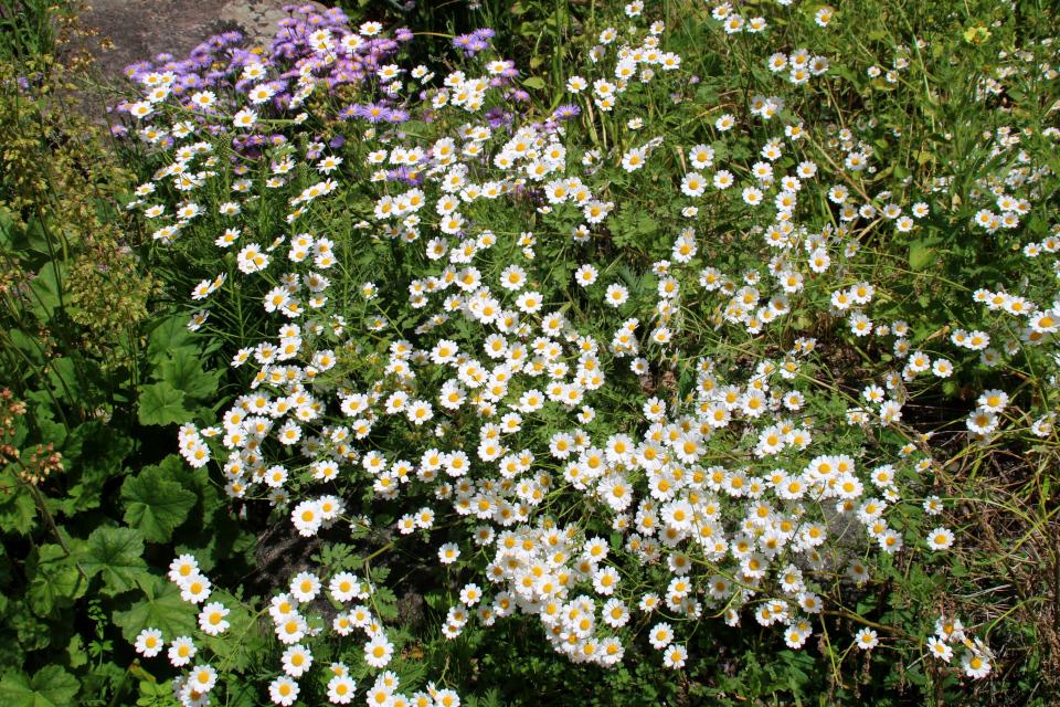 Пижма снежная (лат. tanacetum niveum) в ботаническом саду г. Орхус, Дания. Фото 23 июня 2021
