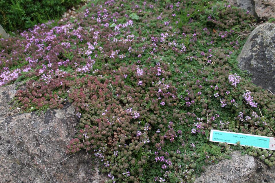 Тимьян аттический на каменистых горках ботанического сада г. Орхус, Дания. Фото 23 июня 2021