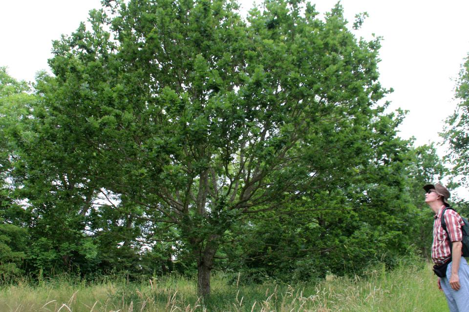 Дуб черешчатый (дат. Stilk-eg, лат. Quercus robur). Датская роща (Danmarkslunden Moesgaard), Орхус, Дания. 2 июл. 2021