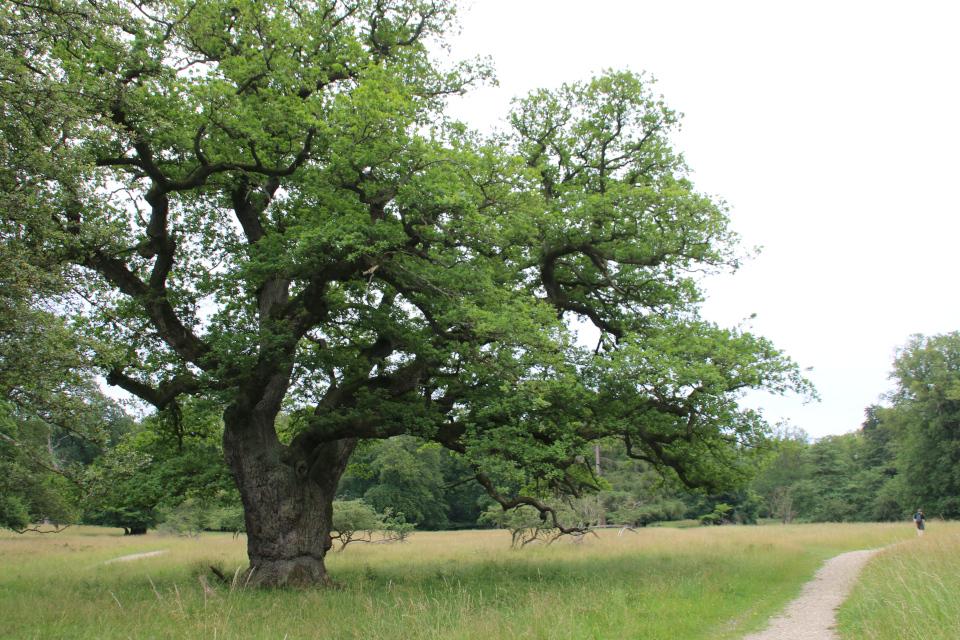 Старый дуб. Деревья в парке животных Йегерсборг (Jægersborg Dyrehave), Дания. Фото 9 июля 2021