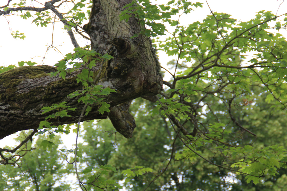 Клён остролистный (дат. Spidsløn, лат. Acer platanoides), Мосгорд (Moesgaard), Дания. Фото 2 июл. 2021