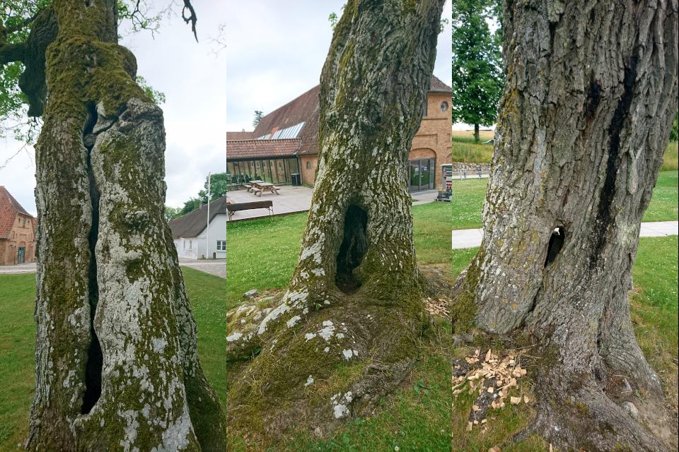 Клён с дуплами Мосгорд (hullede Acer Moesgaard), Дания. Фото 2 июл. 2021