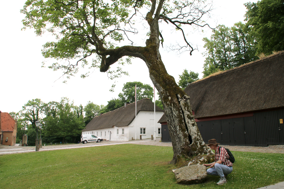 Старый клён Мосгорд (hullede Acer Moesgaard), Дания. Фото 2 июл. 2021