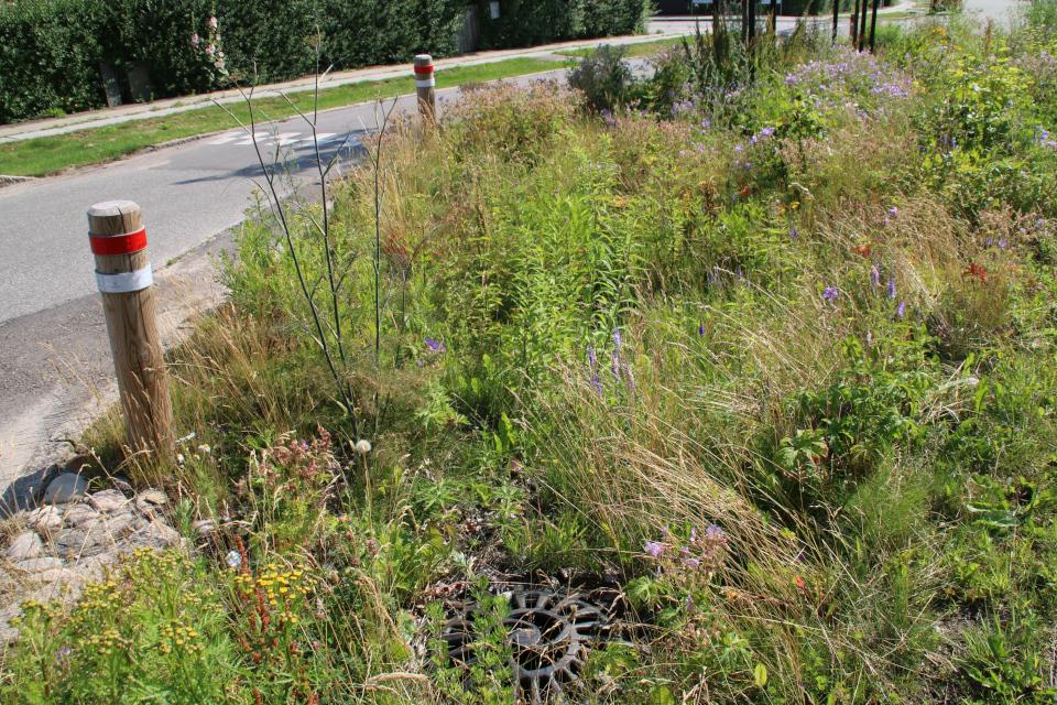 Растения водосточных канав, Орхус, Дания. 14 июл. 2021