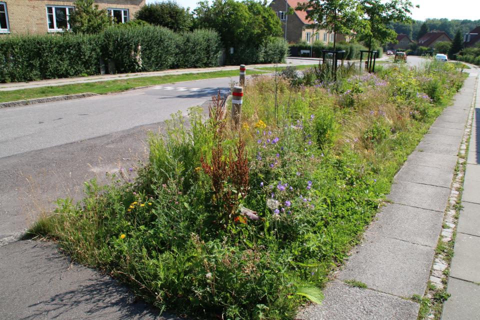 Конский щавель, дат. / лат. Rumex confertus. Растения водосточных канав, Орхус, Дания. 14 июл. 2021