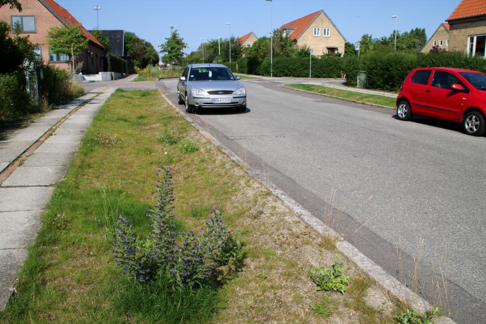 Синяк обыкновенный. Растения водосточных канав, Орхус, Дания. 14 июл. 2021