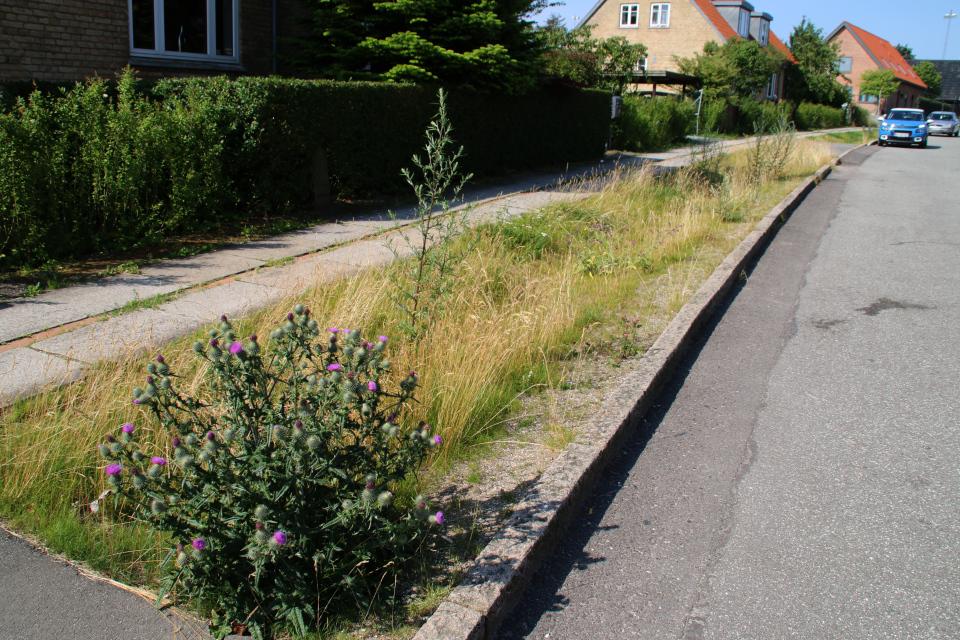 Чертополох колючий. Растения водосточных канав, Орхус, Дания. 14 июл. 2021