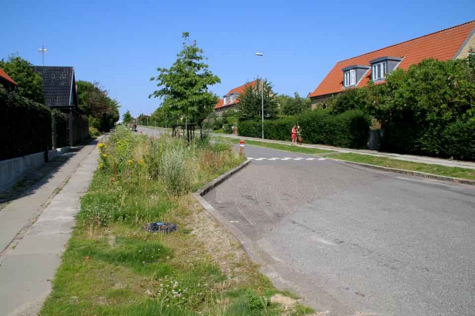 Клевер белый. Растения водосточных канав, Орхус, Дания. 14 июл. 2021