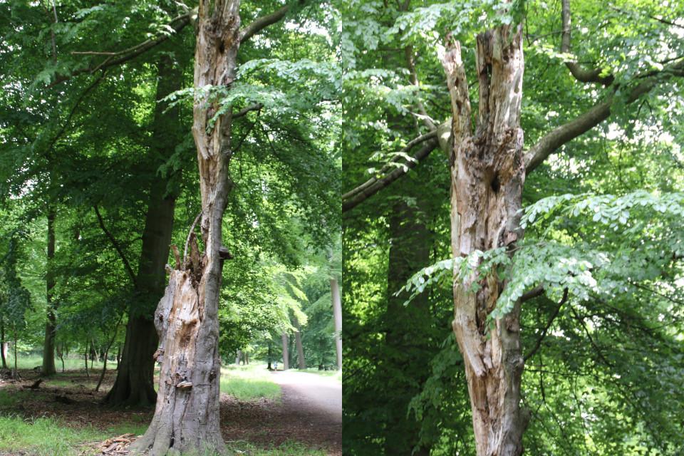 Старый бук. Деревья в парке животных Йегерсборг (Jægersborg Dyrehave), Дания. Фото 9 июля 2021