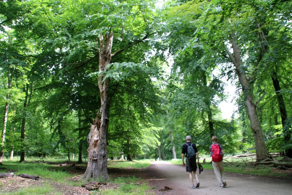 Бук. Деревья в парке животных Йегерсборг (Jægersborg Dyrehave), Дания. Фото 9 июля 2021