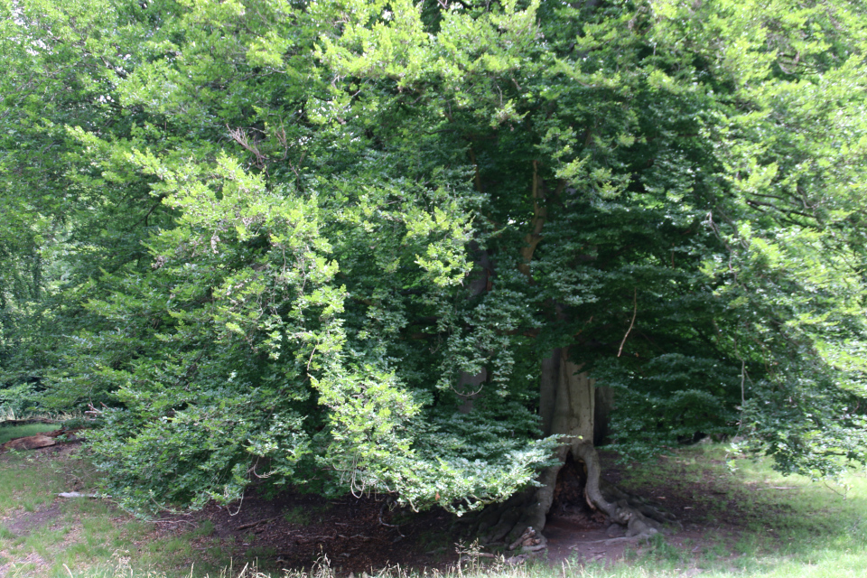 Старый дуплистый бук. Деревья в парке животных Йегерсборг (Jægersborg Dyrehave), Дания. Фото 9 июля 2021