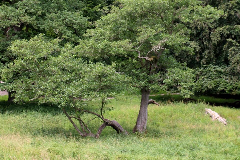 Ольха чёрная (дат. Rødel, лат. Alnus glutinosa). Деревья в парке животных Йегерсборг (Jægersborg Dyrehave), Дания. Фото 9 июля 2021