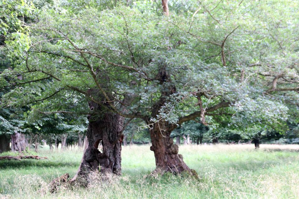 Клен полевой (дат. Navr, лат. Acer campestre). Деревья в парке животных Йегерсборг (Jægersborg Dyrehave), Дания. Фото 9 июля 2021