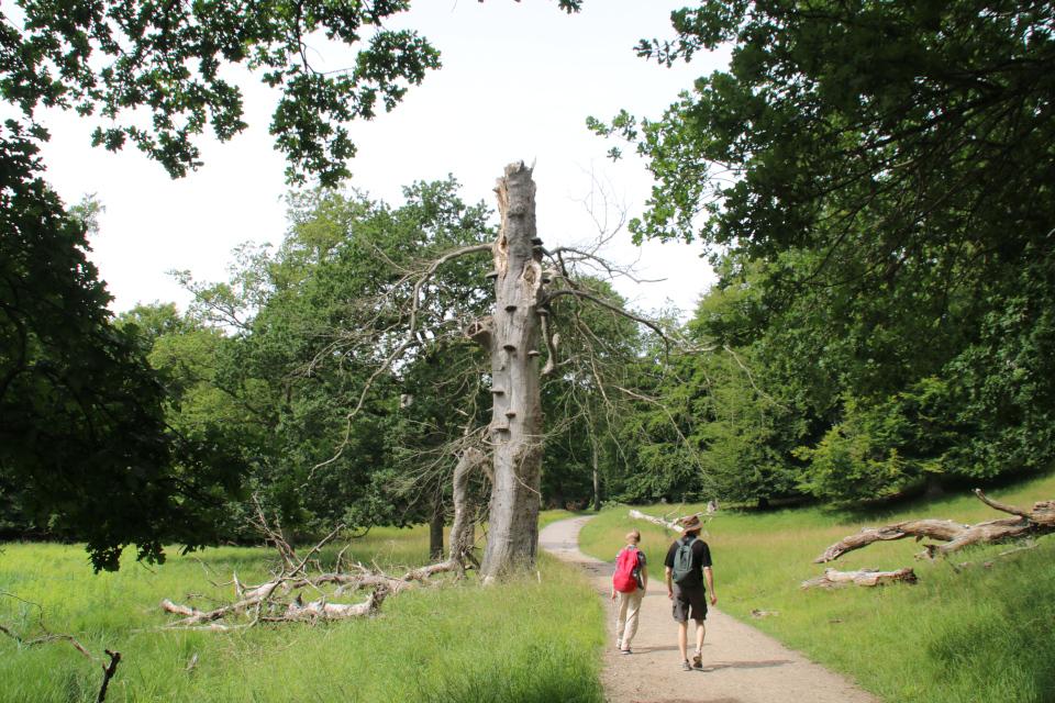 Трутовики. Деревья в парке животных Йегерсборг (Jægersborg Dyrehave), Дания. Фото 9 июля 2021