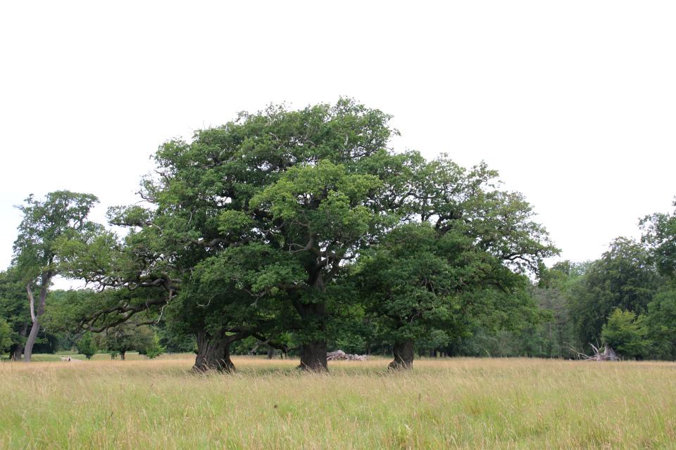 Три дуба - три богатыря. Деревья в парке животных Йегерсборг (Jægersborg Dyrehave), Дания. Фото 9 июля 2021